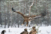 Adler im Anflug, Adler im Anflug, Adler bei der Landung. Greifvogel: Seeadler.
