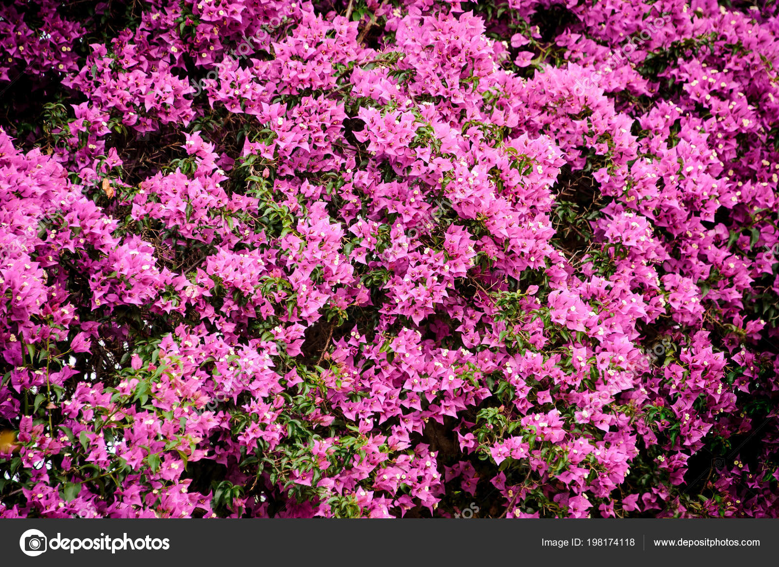 Amazingly Beautiful Bush Of Bright Colorful Violet Flowers Stock