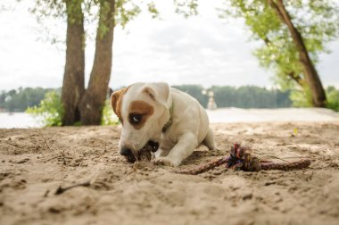 Cute Jack Russell Terrier puppy chewing a rope on the sand beach on summer day