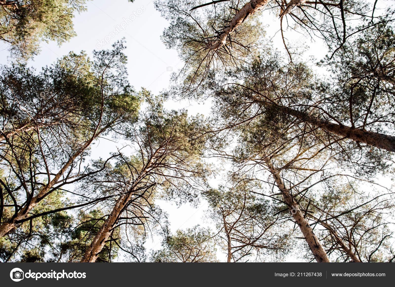 foto de Vue Dessous Sur Cime Des Arbres Pin Sur Fond Ciel — Photographie ...