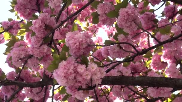 Evropa, Itálie, Milán - přišlo jaro, strom s růžovými květy v parku se světlými odlesky v centru města