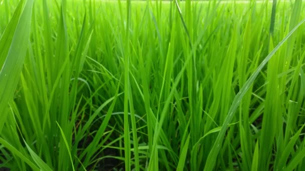 Green background close up grass leaves in the field on full flame photo pattern, fresh green plantation, grassland nature concept, small rice trees, agricultural agriculture in Yogyakarta countryside