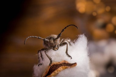 Macro closeup of longhorn beetle