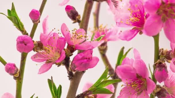 Růžové květiny květy na větve třešeň. Timelapse