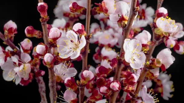 Bílé květiny květy na větve třešeň. Černé pozadí. Timelapse