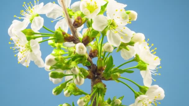 White Flowers Blossoms on the Branches Cherry Tree. Blue Background. Timelapse.