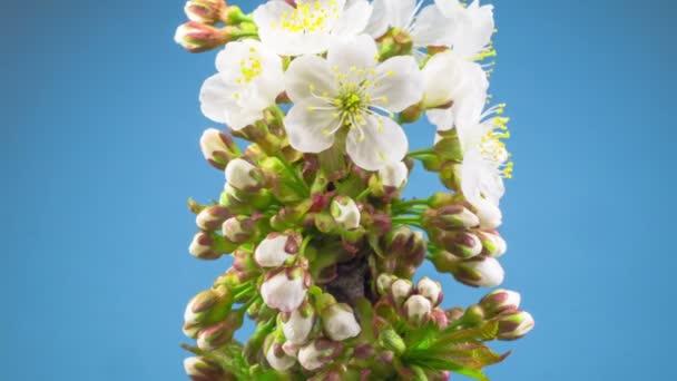 Bílé květiny květy na větve třešeň. Modré pozadí. Timelapse.