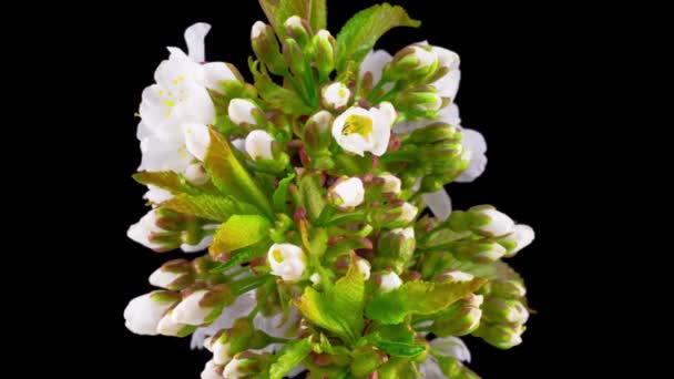 Bílé květy Květy na větvích třešňového stromu. Tmavé pozadí. Včasná.