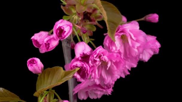 Růžové květy květy na větve stromu Sakura. Černé pozadí. Timelapse