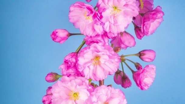 Růžové květy květy na větve stromu Sakura. Modré pozadí. Timelapse.