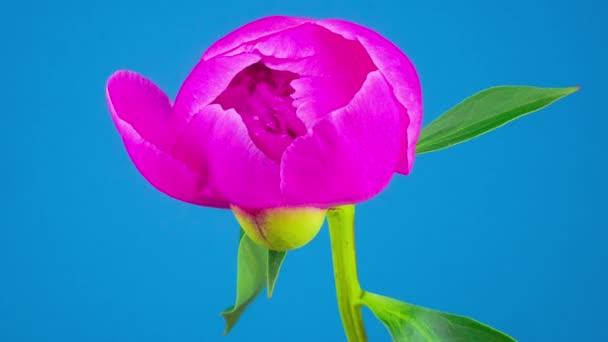 Blütenpracht der rosa Pfingstrose. blauer Hintergrund. Zeitraffer.