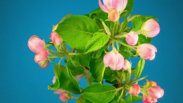 Bílé květy květy na větvích jabloní. Timelapse.