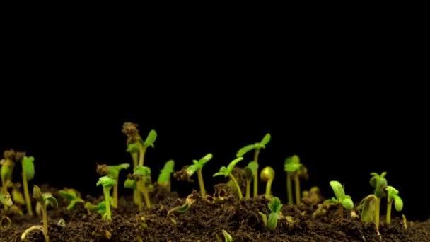 A marihuána növény nő a fekete háttér. Időeltolódás.