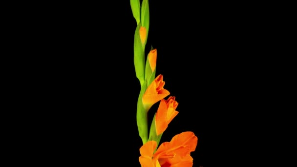 Beautiful Time lapse of Opening Orange Gladiolus Flower on Black Background.