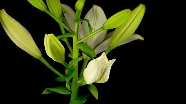 Time Lapse of Beautiful White Lily Flower Blossom. Černé pozadí.