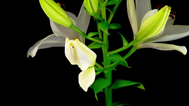 Time Lapse of Beautiful White Lily Flower Blossoms. Black Background.