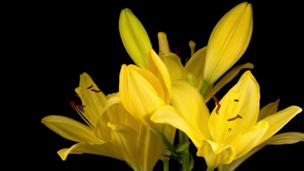 Idő Lappangása Gyönyörű Sárga Liliom Virág Virágok. Fekete háttér.