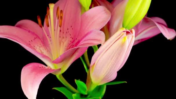 Idő Lappangása Gyönyörű Rózsaszín Liliom Virág Virágok. Fekete háttér.