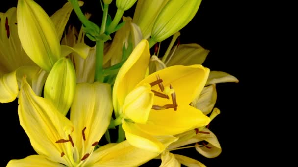 Time Lapse of Beautiful Yellow Lily Flower Blossoms. Black Background.