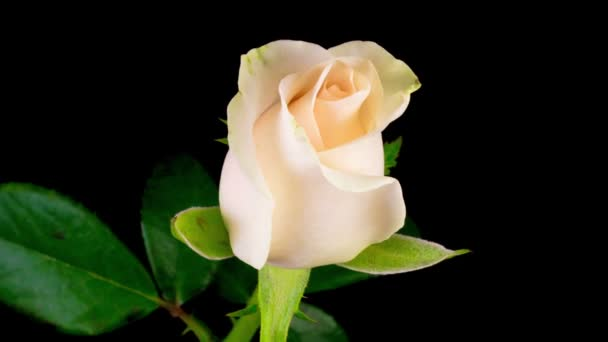 Beautiful Time Lapse of Opening White Rose Flower on Black Background.