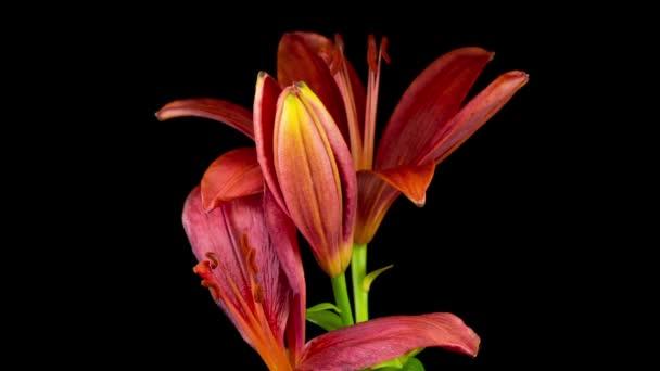 Čas vypršel krásných květů Červené Lily. Černé pozadí.