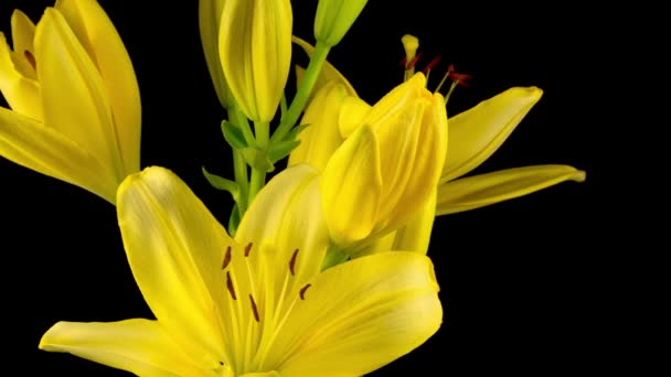 Čas vypršel krásných žlutých květinových květů Lily. Černé pozadí.
