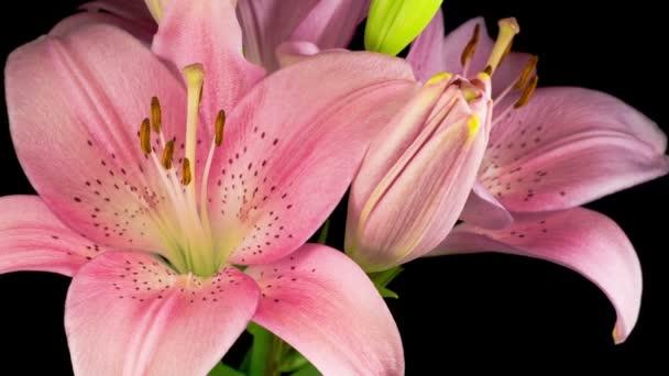 Čas vypršel krásné růžové květy Lily Flower. Černé pozadí.