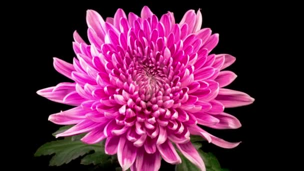 Time Lapse of Beautiful Pink Chrysanthemum Flower Opening Against a Black Background.