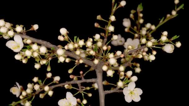 Fehér virágok nyílnak a vadszilvafa ágain. Sötét háttér. Időintervallum.