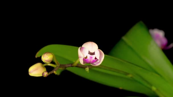 Virágzó fehér orchidea Phalaenopsis Virág fekete háttér. Időeltolódás.