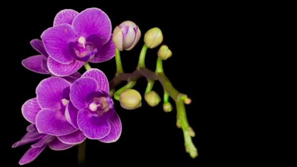 Kvetoucí fialová orchidej Phalaenopsis Květ na černém pozadí. Čas vypršel. Záporné místo.
