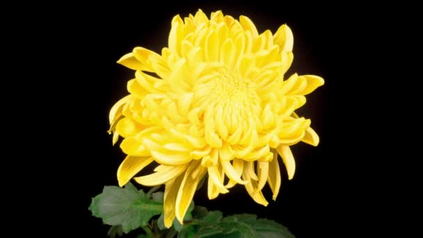 Time Lapse of Beautiful Yellow Chrysanthemum Flower Opening Against a Black Background.