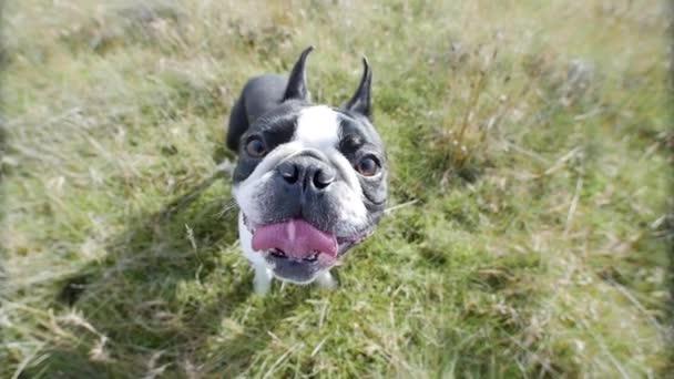 Fekete-fehér francia bulldog hal szeme. Mosolygó boldog kutya