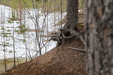 Tree roots on the slope of a ravine with water covered with snow in an early spring day