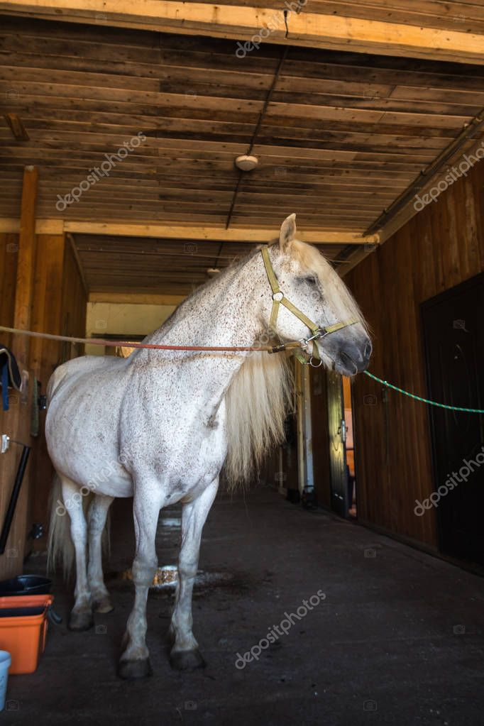 White horse with beautiful mane standing in dark stable