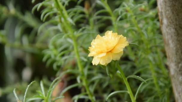 Žluté růže moss kvetoucí zahradě