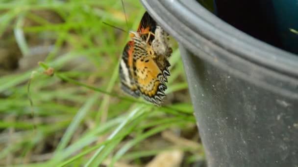 Merveilleux Butterfly Metamorphosis Cocoon Climbing Black Plastic Bin Prepare Flying  Garden U2014 Stock Video