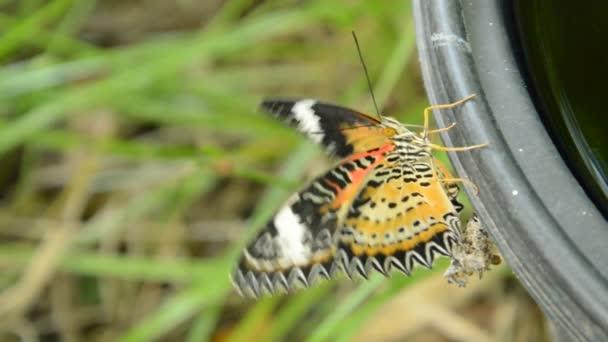 Butterfly Metamorphosis Cocoon Climbing Black Plastic Bin Prepare Flying  Garden U2014 Stock Video