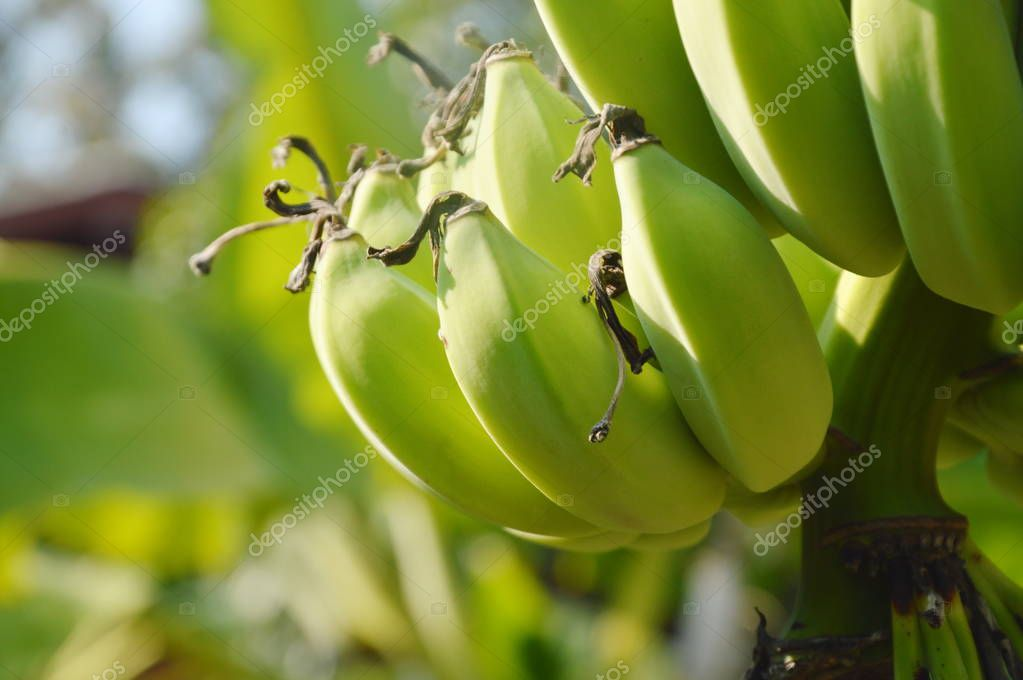 raw banana hanging from branch in farm