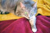 Legrační kočka ležící na žlutočerveném přehozu, zblízka. Kočka leží s tlapkou pod hlavou.