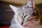 Portrét šedé legrační kočky se zelenýma očima, detailní záběr