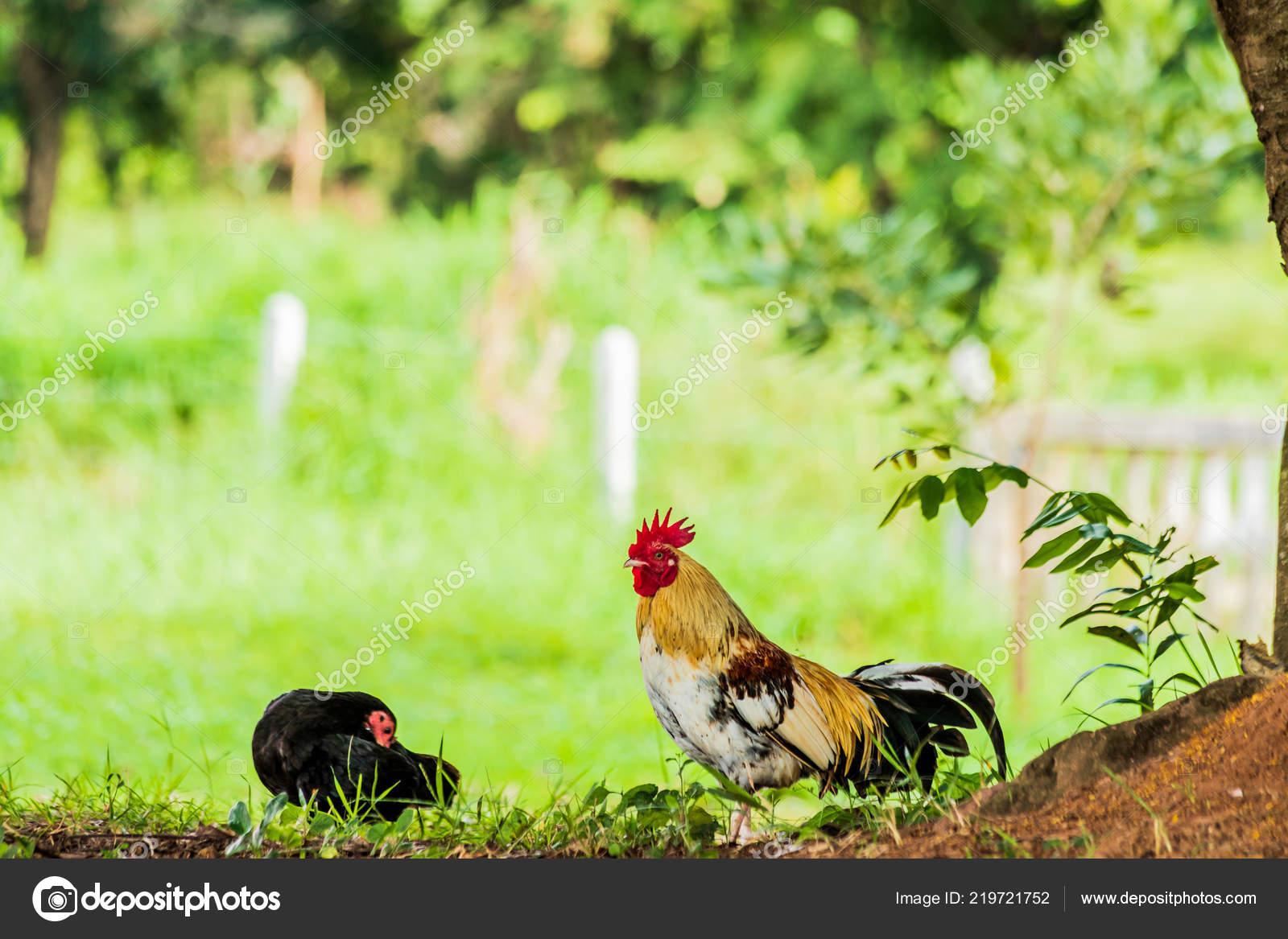 Male Female Chickens Shade — Stock Photo © sanpom #219721752