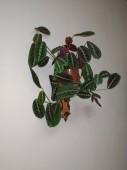 Crowton (lat. Crton) - rod rostlin čeledi Euforbia (Euphorbiaceae)