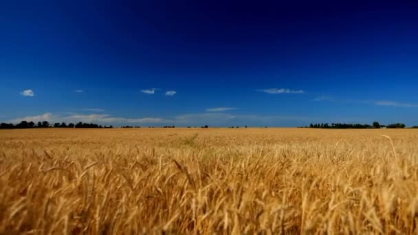 Field of wheat ears against the sky