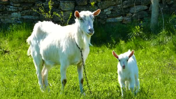 Bílá koza v zelené trávě