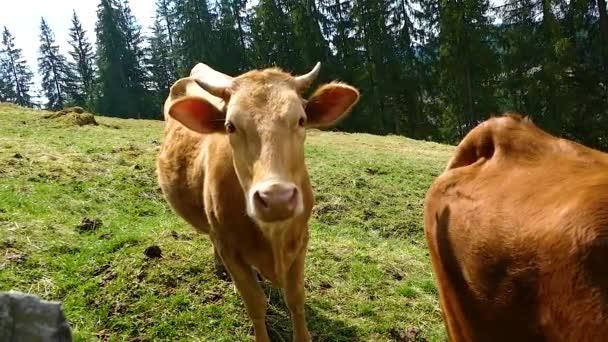 Kráva býk zvířat v přirozených podmínkách