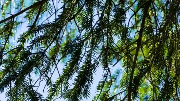 Splendida natura selvaggia della foresta conifere