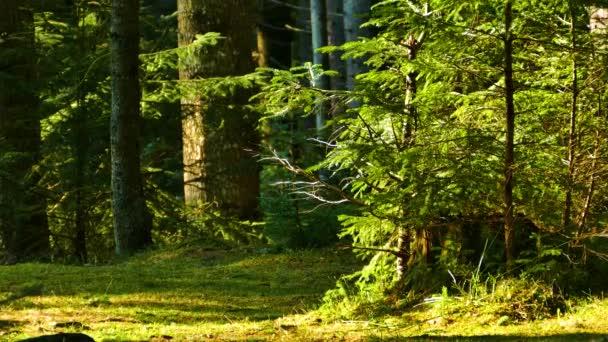 Coniferous forest beautiful nature wild