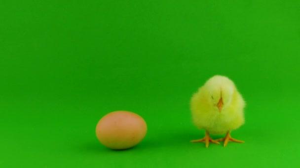 Little chicken on a green screen