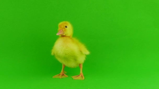 Duckling green background isolated